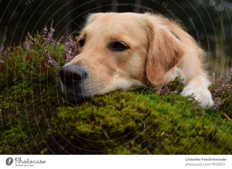 Orly in der Heide Natur Tier Hund 1 Golden Retriever Farbfoto Außenaufnahme