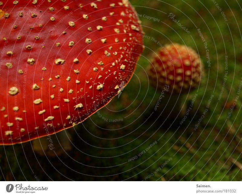 abbeißen und fliegen ... Natur grün schön rot Pflanze Umwelt Herbst klein groß gefährlich Punkt Rauschmittel Pilz Moos Rausch Gift