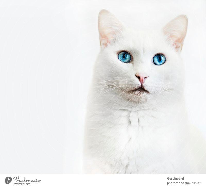 Samira schön weiß blau Auge Tier Freisteller Katze hell High Key elegant Tiergesicht Fell edel Kopf Haustier Schnauze