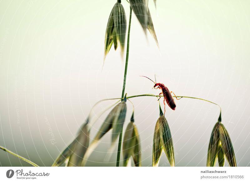 Käfer Pflanze Tier Gras Nutzpflanze Getreide Getreidefeld Feld Wildtier Insekt 1 beobachten krabbeln Blick Fröhlichkeit natürlich Neugier niedlich schön weich