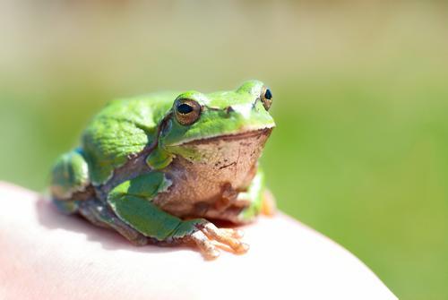 Grüner Frosch Natur Farbe Sommer grün weiß Einsamkeit Tier Gesicht Auge Umwelt gelb natürlich Gras klein Denken springen