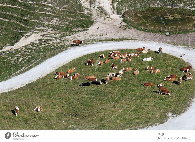 in der Warteschleife... Umwelt Natur Landschaft Pflanze Tier Herbst Gras Wiese Berge u. Gebirge Wege & Pfade Nutztier Kuh Herde Fressen liegen stehen