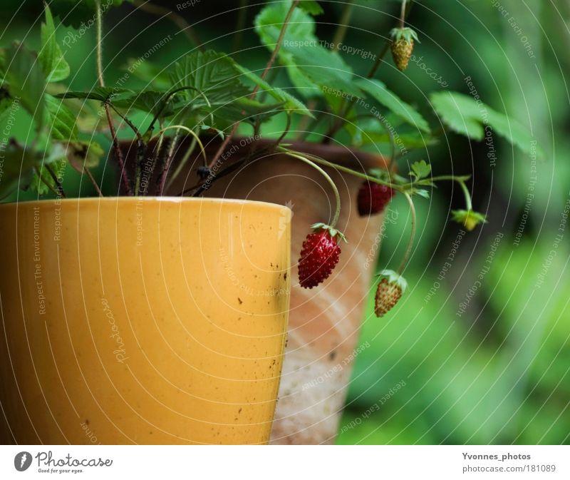 Spätsommer Früchte Natur Blume grün Pflanze rot ruhig Blatt Haus Garten Wohnung Umwelt frisch Wachstum Häusliches Leben Erdbeeren Beeren
