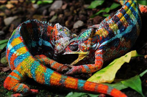 Kriegsbemalung Zoo 2 Tier kämpfen Konflikt & Streit Aggression verrückt stachelig wild Wut mehrfarbig Erfolg Kraft Stress Farbe Leistung Natur Überleben