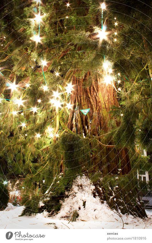 Natürlicher Weihnachtsbaum mit leuchtenden Lampen im Advent Mammutkiefer Mammutbaum Weihnachten & Advent Winter Baum Kiefer Wermelskirchen groß hell grün