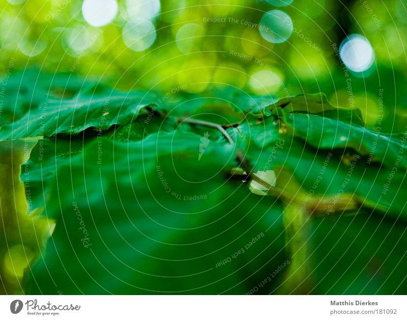 Blätter Natur grün Pflanze Sommer Blatt ruhig glänzend abstrakt Zweig Grünpflanze Photosynthese Blattgrün Ton-in-Ton