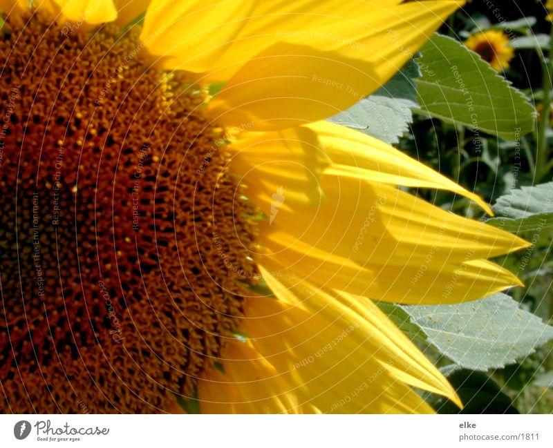 flowerpower Sonnenblume