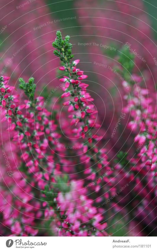 Heide Farbfoto Nahaufnahme Detailaufnahme Natur Pflanze Blume Gras Blüte Grünpflanze violett rosa Tod Trauer Heidekrautgewächse heideblüte Herbst Herbstfärbung