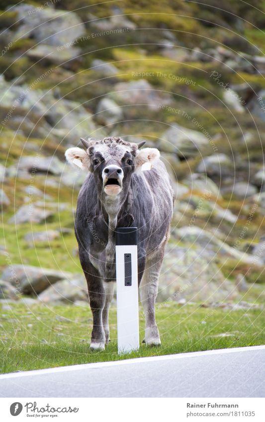 """ein Bulle steht an der Strasse Natur Tier Straße Haustier Nutztier """"Kuh Rind Bulle"""" 1 stehen gefährlich Farbfoto Außenaufnahme Tag Vorderansicht"""