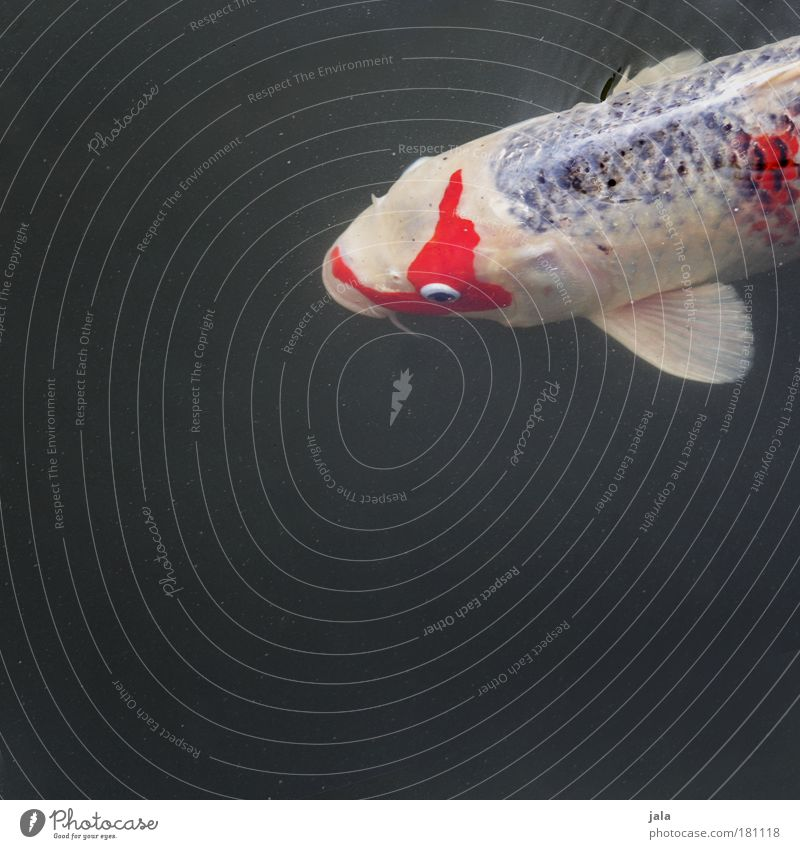 Nishikigoi Farbfoto Außenaufnahme Textfreiraum unten Tag Licht Tierporträt Blick nach vorn Wasser Teich See Fisch dick Koi Karpfen weiß rot Schwimmen & Baden