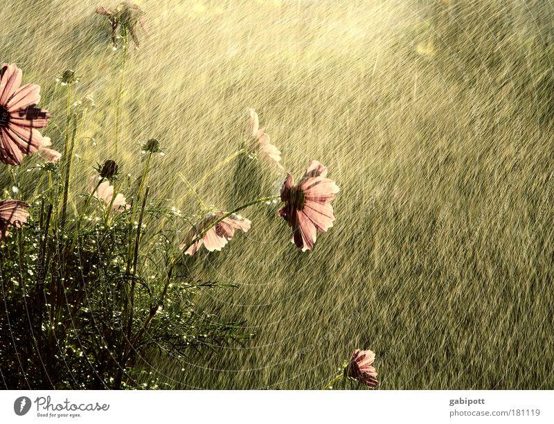 Die Farbe des Sommers Natur Wasser Blume Pflanze Blatt Leben Garten Glück Wärme Regen braun rosa Wassertropfen nass Fröhlichkeit