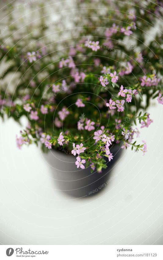 Wachsen Natur schön Pflanze Blume ruhig Leben rosa ästhetisch Wachstum Dekoration & Verzierung Blumentopf verschönern Bildausschnitt Anschnitt filigran Zimmerpflanze