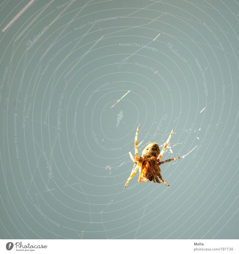 Spinne am Morgen ... Natur Tier grau Umwelt sitzen Netzwerk beobachten gruselig Wildtier Ekel hängen Spinne krabbeln geduldig Ausdauer Spinnennetz