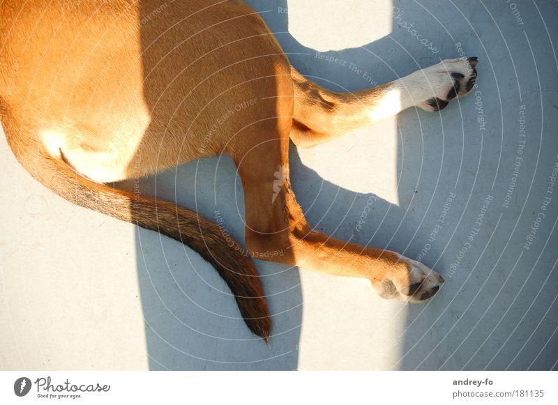 Hund Tier Haustier Fell Pfote 1 Beton braun grau Tierliebe ruhig Pause Schwanz Sonnenlicht 2 Beine liegen Rassehund Hinterteil Boden Vogelperspektive Farbfoto