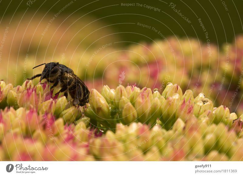Nasses Bienchen Umwelt Natur Wasser Wassertropfen Frühling Sommer schlechtes Wetter Unwetter Regen Gewitter Pflanze Blüte Wildpflanze Garten Park Tier Nutztier