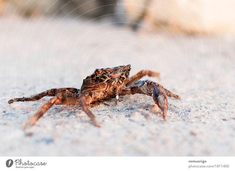 Krabbe Sommer Sonne Meer Tier Sand Straße sitzen fangen Schmarotzerrosenkrebs Fisch Markt Pazifik Panzer Farbfoto Außenaufnahme Nahaufnahme Menschenleer Abend