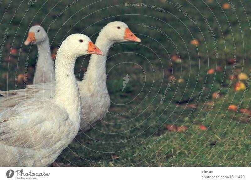 """""""Gans in weiß"""" weiß Tier Leben Wiese Herbst natürlich Glück Vogel Zusammensein Zufriedenheit Kommunizieren stehen Feder warten Lebensfreude lecker"""