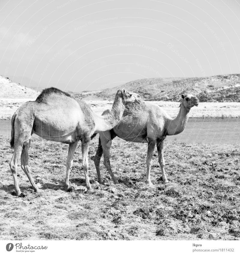 Dromedar in der Nähe des Meeres Essen Ferien & Urlaub & Reisen Tourismus Safari Natur Pflanze Tier Sand Himmel See heiß wild braun grau schwarz weiß Asien