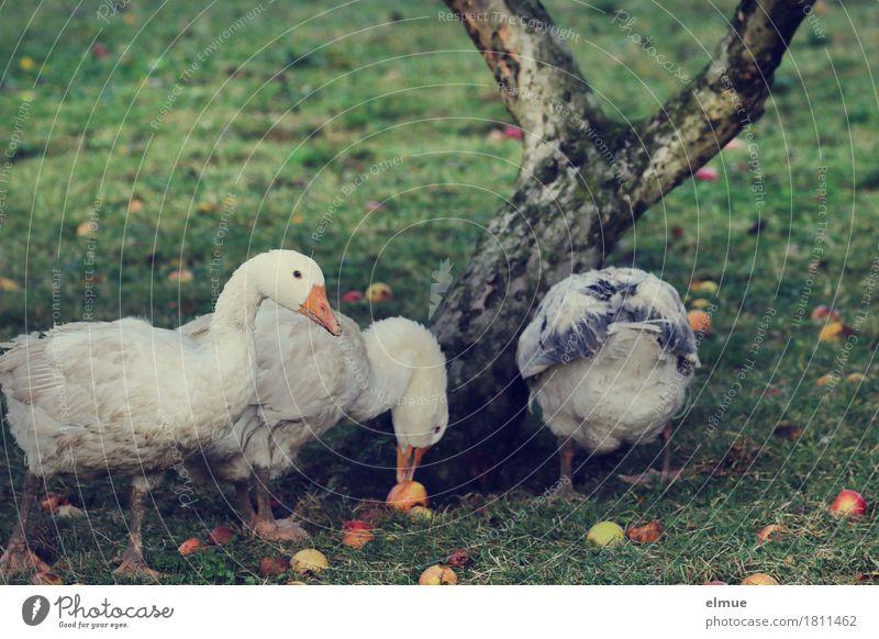 Obstmahlzeit Baum Herbst Glück Garten Vogel Zufriedenheit Wachstum Metallfeder Apfel Tradition Appetit & Hunger Fleisch Fressen ökologisch Biologische Landwirtschaft Festessen