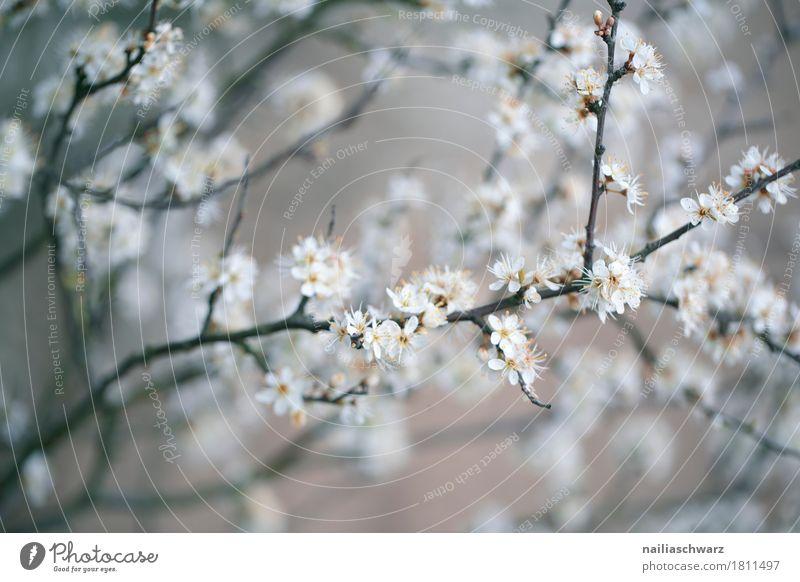 Frühling Natur Pflanze Schönes Wetter Baum Blüte Apfel Apfelbaum Garten Park Wiese Blühend Duft springen Wachstum natürlich grau weiß Frühlingsgefühle Kraft