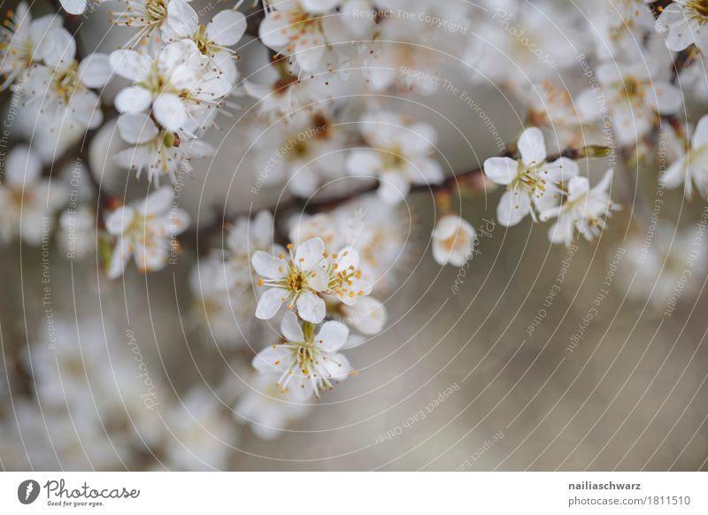 Frühling Umwelt Natur Landschaft Pflanze Blume Blüte Nutzpflanze Ast Zweig Zweige u. Äste Kirschblüten Blühend Duft springen Wachstum Fröhlichkeit natürlich