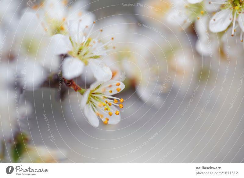 Frühling Umwelt Natur Pflanze Klima Baum Blume Blüte Nutzpflanze Ast Apfelblüte Garten Park Blühend Duft springen Wachstum frisch natürlich schön gelb grau weiß