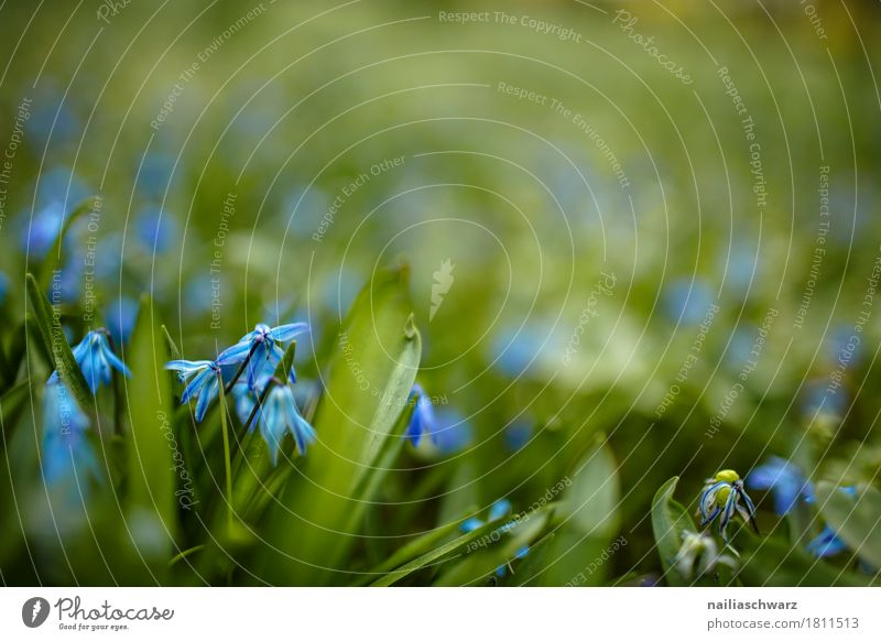 Hundszahnlilie Natur Pflanze Frühling Sommer Blume Blatt Blüte Nutzpflanze Blue Scilla Garten Park Wiese Feld Blühend Duft springen Wachstum natürlich blau grün