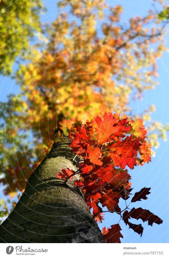 Herbstfeuer I Farbfoto mehrfarbig Außenaufnahme Muster Strukturen & Formen Textfreiraum oben Tag Sonnenlicht Zentralperspektive Natur Himmel Schönes Wetter Baum