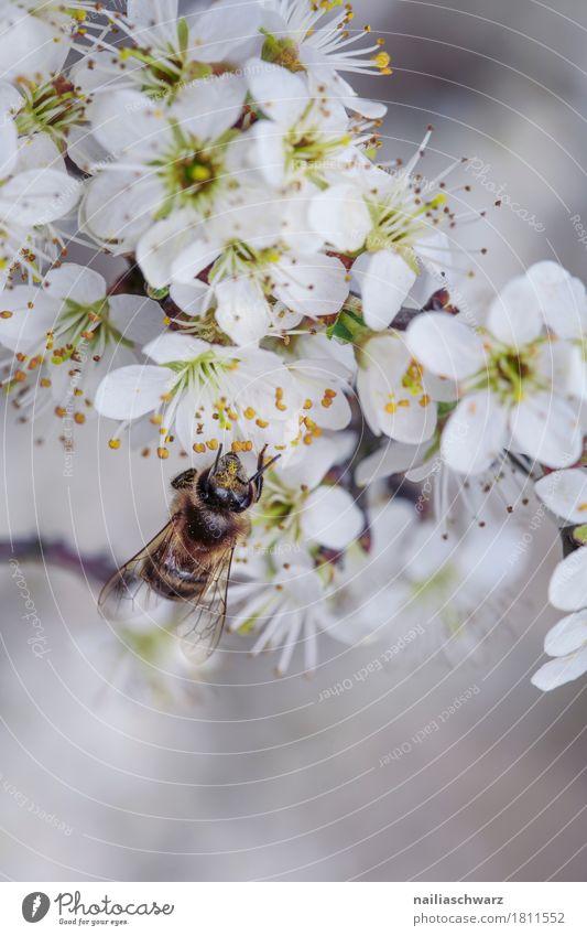 Frühling Umwelt Natur Pflanze Tier Blume Blüte Garten Park Wiese Feld Nutztier Biene Insekt 1 Arbeit & Erwerbstätigkeit Blühend Duft springen frisch natürlich