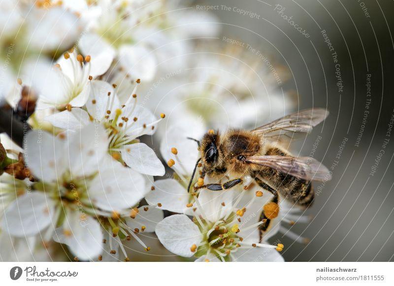 Frühling Umwelt Natur Pflanze Tier Sommer Baum Blüte Grünpflanze Nutzpflanze Kirsche Kirschblüten Garten Park Biene Insekt 1 Arbeit & Erwerbstätigkeit Blühend