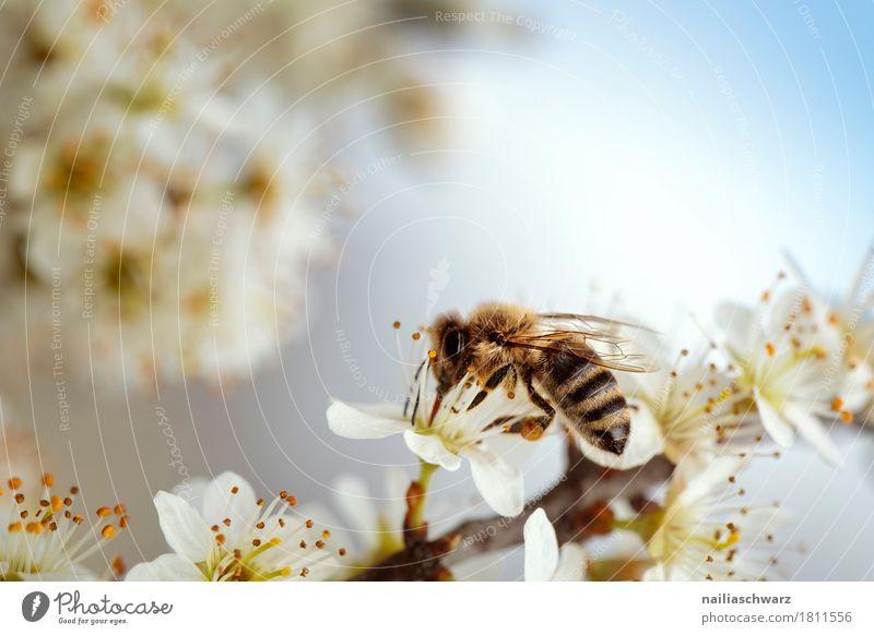 Biene Umwelt Pflanze Tier Frühling Sommer Schönes Wetter Baum Blume Blüte Nutzpflanze Kirsche Kirschblüte Kirschblüten Garten Park Nutztier 1 Blühend Duft