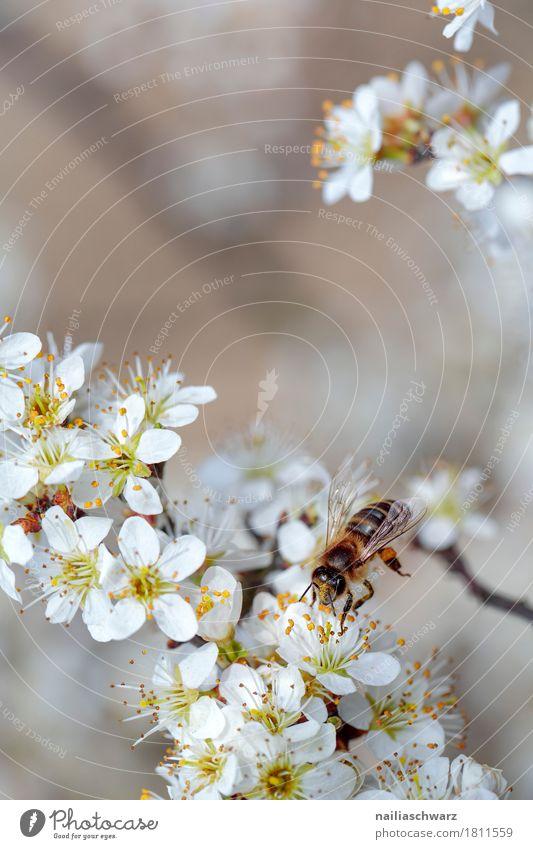 BFrühling Umwelt Natur Pflanze Tier Baum Blume Blüte Nutzpflanze Biene Insekt Arbeit & Erwerbstätigkeit Duft fliegen springen Wachstum Fröhlichkeit nah