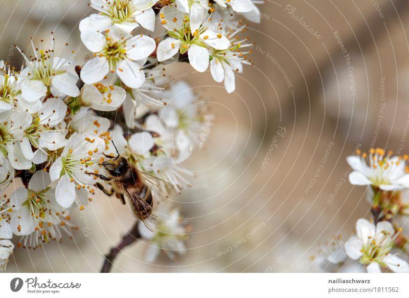 Biene Umwelt Natur Pflanze Tier Frühling Baum Blume Blüte Ast Zweige u. Äste Garten Park Nutztier Insekt Arbeit & Erwerbstätigkeit Blühend Duft springen wandern
