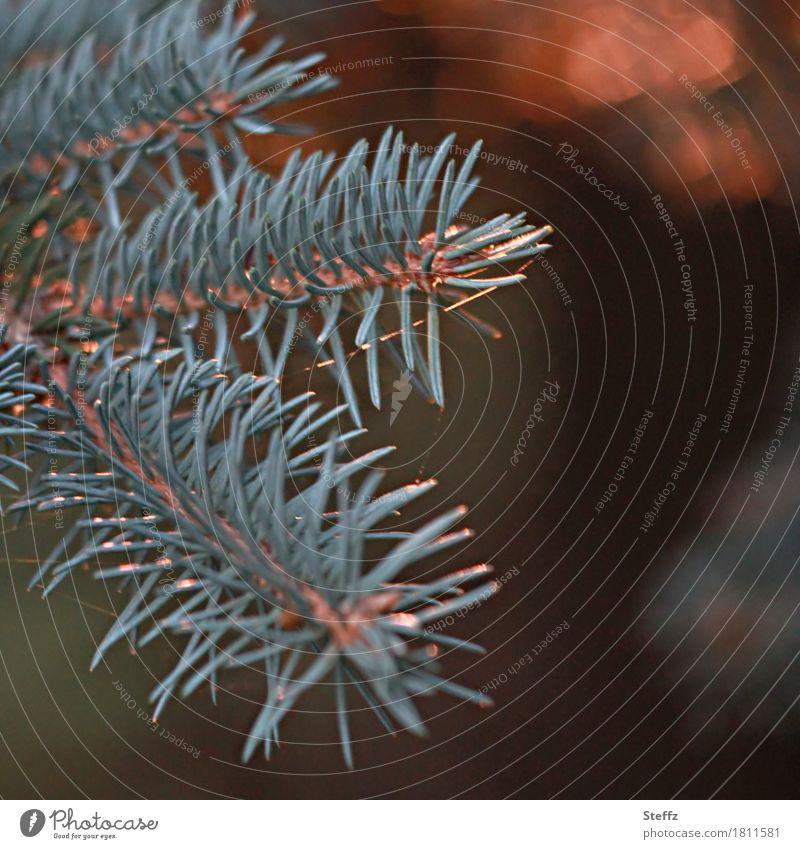 Der Duft der Kiefernnadeln Natur Pflanze Herbst Winter Wildpflanze Fichte Nadelbaum Nadelblatt Tannennadel Zweig Wald schön grün Waldstimmung Lichtstimmung