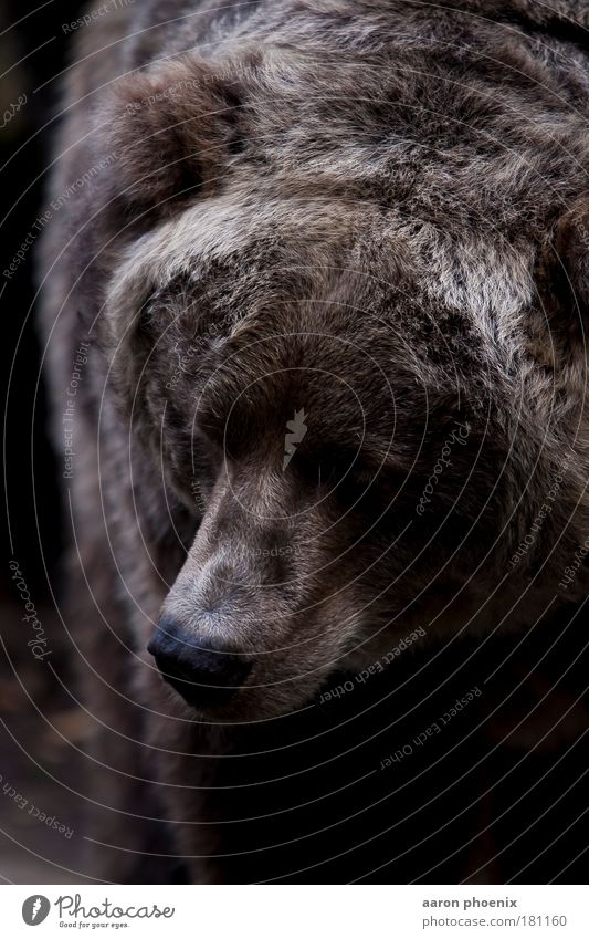 brauner Bär Natur Tier Luft Fell Tiergesicht Zoo