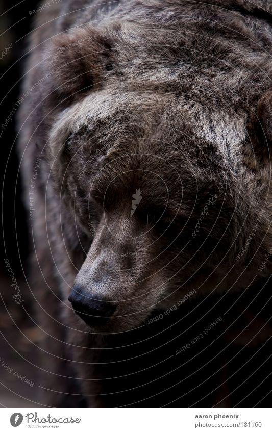 brauner Bär Natur Tier Luft braun Fell Tiergesicht Zoo