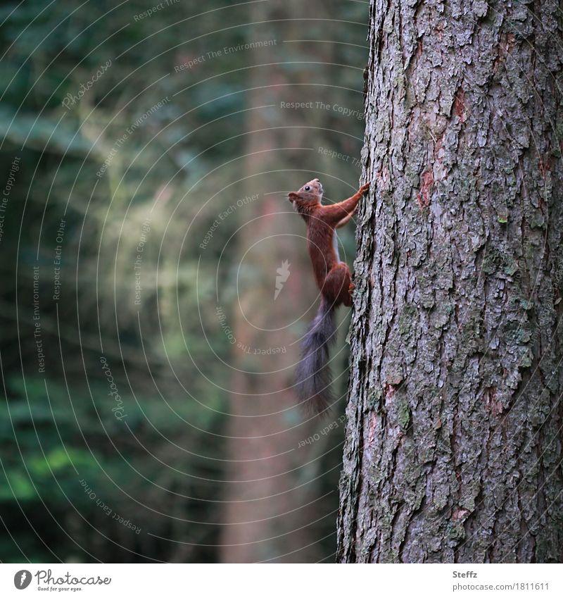 Eichhörnchen läuft schnell nach oben Baum Baumstamm Baumrinde Wildtier Waldbäume Sommerwald waldbaden Waldbaden aufwärts senkrecht Balanceakt Gleichgewicht