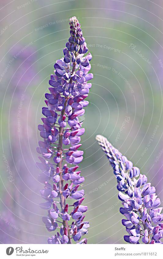 blühende Lupinen Lupinus luvina lupus Lupinenblüte sonnig Bauerngartenpflanze lila Blüten lila Blumen natürlich violett Sommerblumen Wildpflanzen Zierpflanze