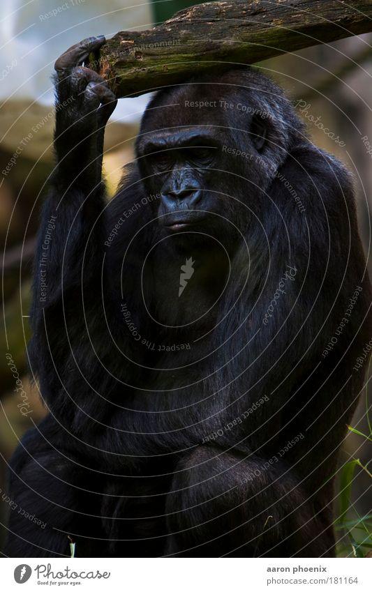 der Dichter Natur ruhig Tier Gefühle Stimmung Nase Wildtier Tiergesicht Fell Gelassenheit gestikulieren Evolution Tierschutz Gorilla Zoologie Gesichtsausschnitt