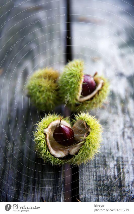 Erntefrische Maronen Frucht Ernährung Bioprodukte Herbst Nutzpflanze Baumfrucht Holz Wachstum ästhetisch natürlich positiv stachelig braun gelb grau ruhig