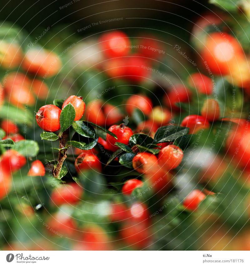 Rote Kullerbeeren Natur Weihnachten & Advent grün schön Pflanze rot Herbst Umwelt Landschaft Frucht Park Wachstum Sträucher Erntedankfest Beerensträucher