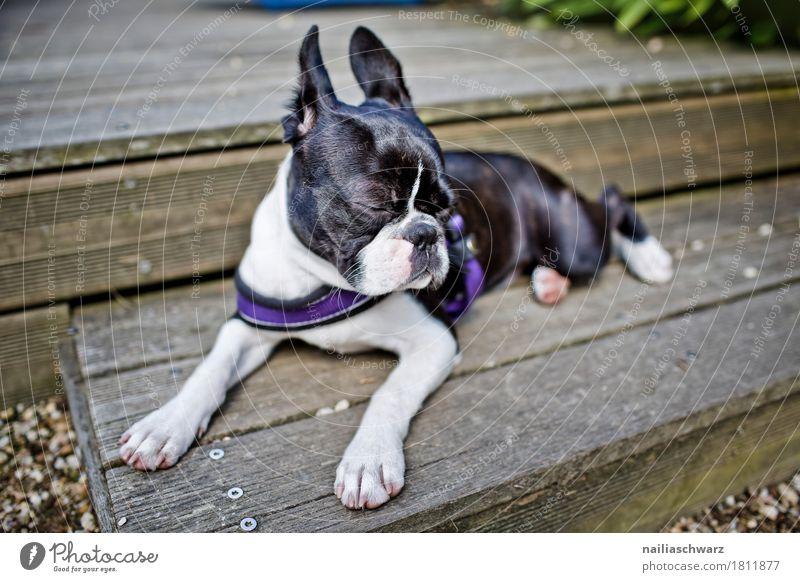 Boston Terrie erholt sich Hund schön weiß Erholung Tier schwarz Tierjunges lustig Holz grau Freizeit & Hobby Zufriedenheit Treppe liegen elegant Idylle