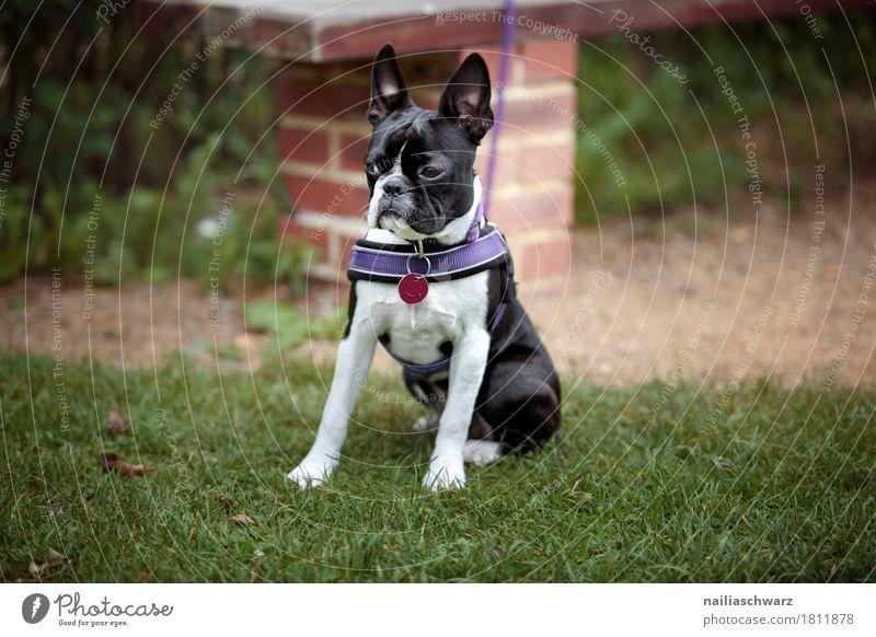 Boston Terrier Natur Frühling Sommer Gras Garten Park Wiese Feld Tier Haustier Hund französische Bulldogge 1 Tierjunges beobachten lernen Blick warten elegant