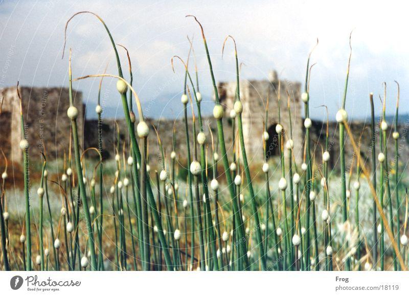 Ruine Südeuropa Pflanze Burg oder Schloss
