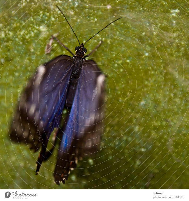 blue motion grün blau schwarz Tier elegant ästhetisch Tiergesicht Flügel natürlich außergewöhnlich Schmetterling exotisch Fühler