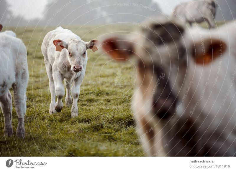 Kälber auf der Wiese Sommer Landwirtschaft Forstwirtschaft Umwelt Natur Landschaft Gras Feld Frankreich Bretagne Europa Tier Nutztier Kuh Kalb Tiergruppe Herde