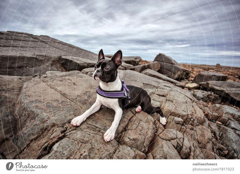 Boston Terrier am Strand Himmel Hund Natur Ferien & Urlaub & Reisen Sommer schön Meer Landschaft Wolken Tier Reisefotografie Küste Felsen rosa liegen