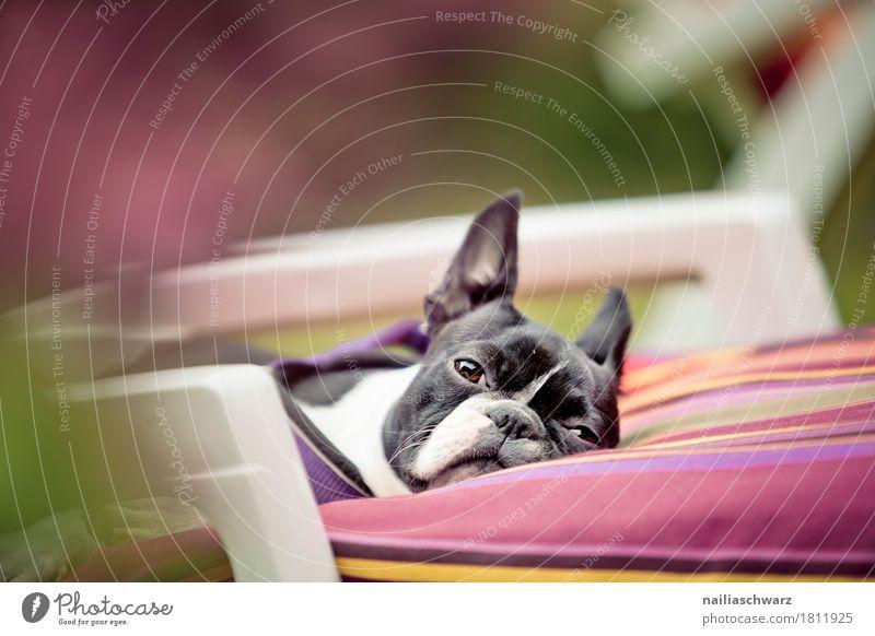 Relax Hund schön Erholung Tier lustig Garten rosa Park Zufriedenheit liegen genießen beobachten Schönes Wetter niedlich Coolness schlafen
