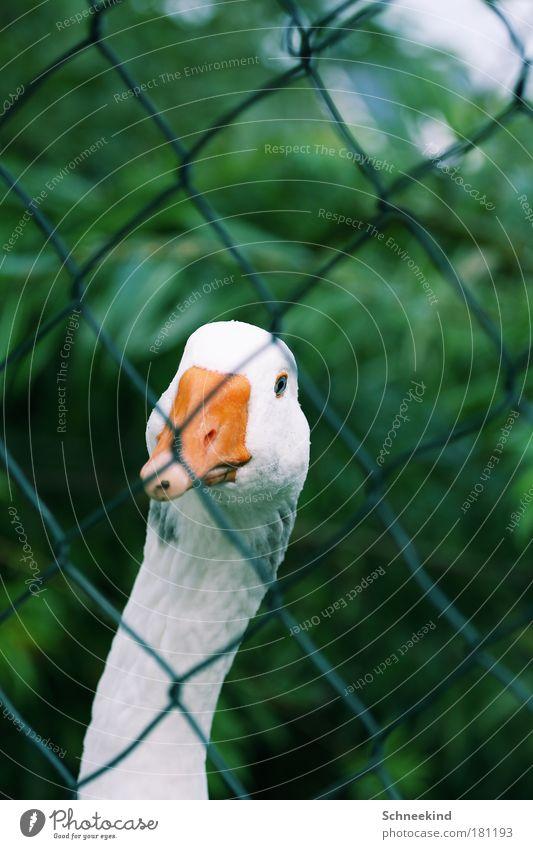 Neugier Natur weiß Tier Umwelt Landschaft Gras Garten Park Wildtier Sträucher beobachten Tiergesicht Zoo entdecken Zaun