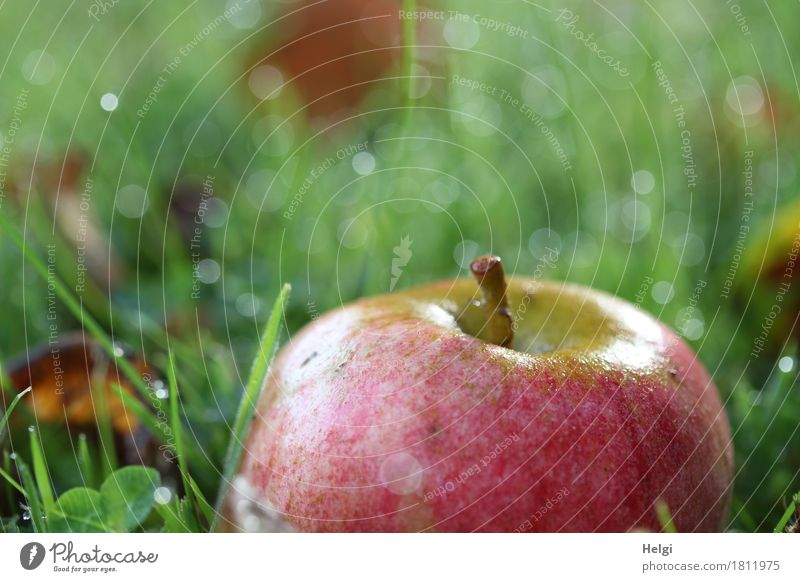 Fallobst II Lebensmittel Apfel Bioprodukte Umwelt Natur Pflanze Herbst Schönes Wetter Gras Blatt Garten glänzend liegen ästhetisch authentisch frisch Gesundheit